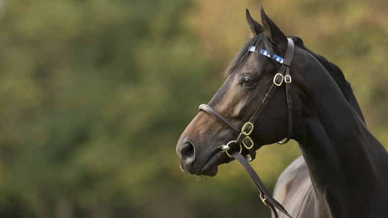 Golden Horn: Derby hero covered 132 mares in his first season at Dalham Hall Stud last year