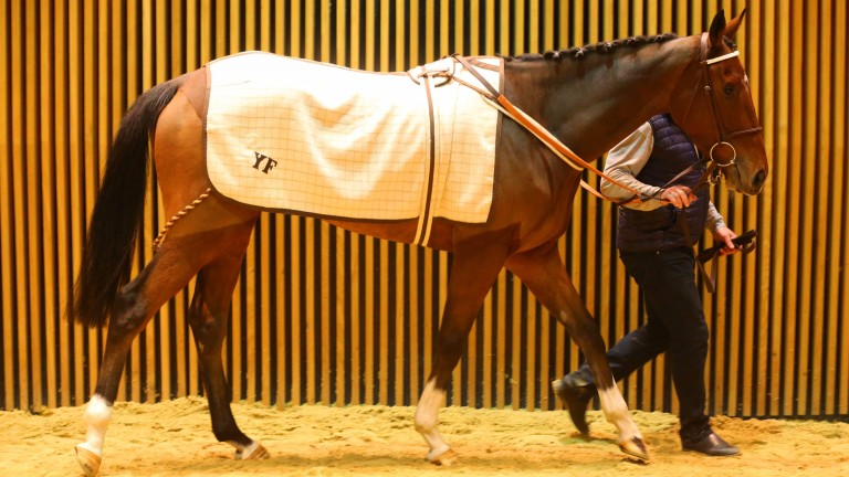 Dostal Phil: pricey JP McManus purchase on display at Arqana