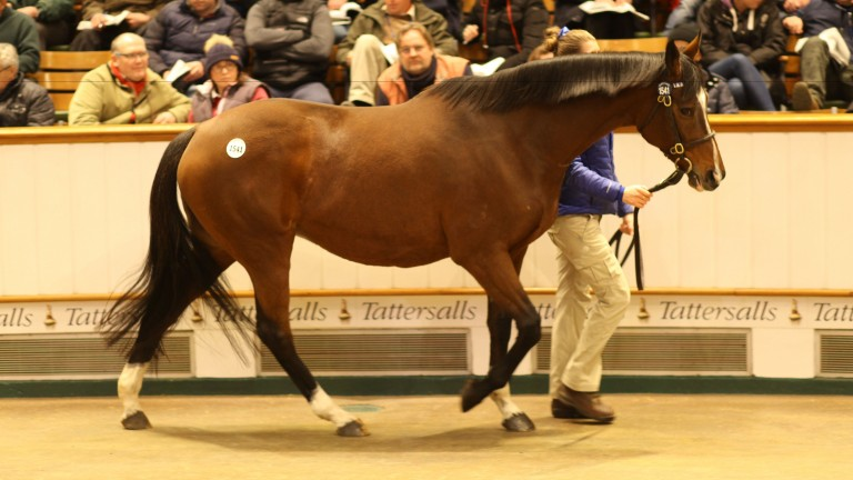 The Miniver Rose taking a turn round the ring at Tattersalls on Monday