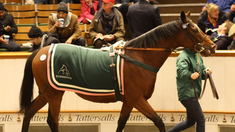 Replete: walks in the ring at Tattersalls as she sells for 775,00gns on Wednesday