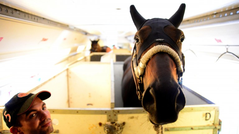 Almanzor and his groom Thibault Hamelin arrive by plane in Dublin before Irish Champions Weekend