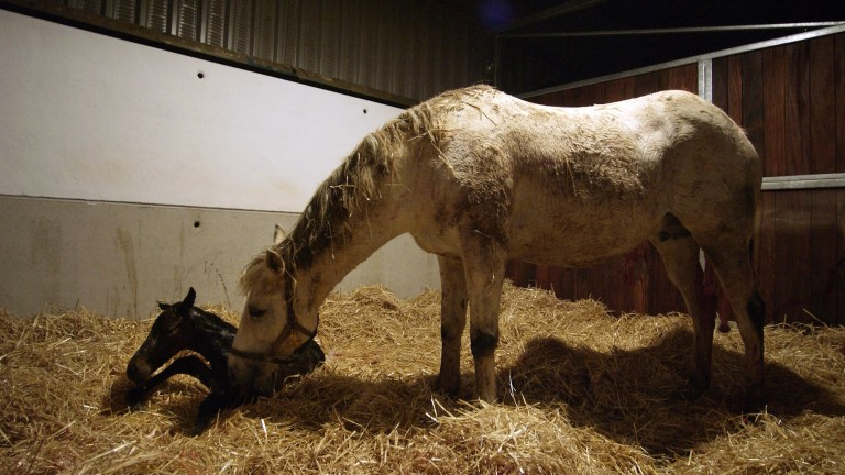 There has been a steep decline in the number of foals born worldwide