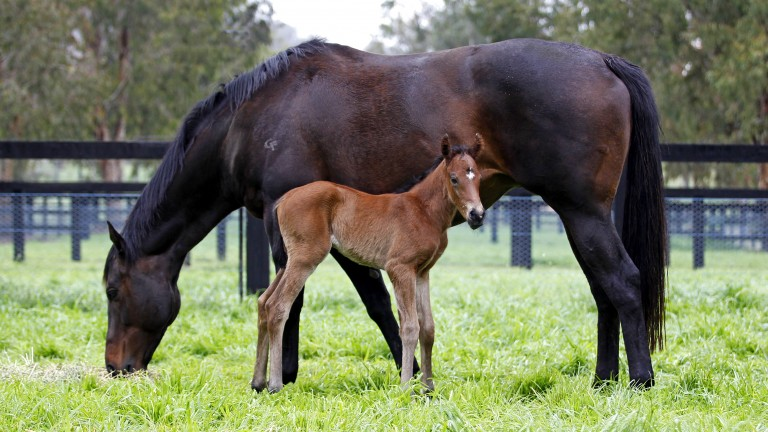 Oscietra: as a foal with her dam and wondermare Black Caviar