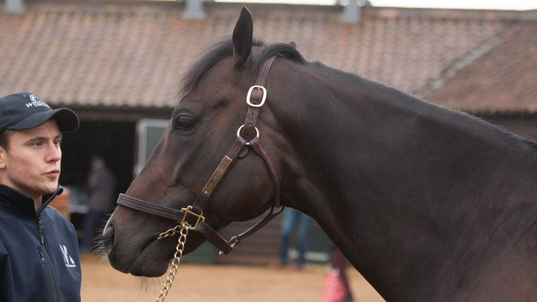 Due Diligence: included in the line-up for the TBA stallion parade at Tattersalls