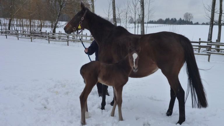 Gestut Etzean: Bella Amica with her foal in the paddocks