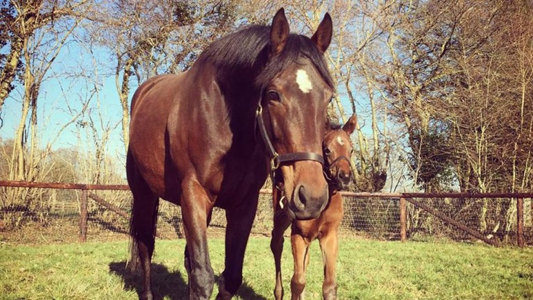 Al Naamah and her Siyouni filly foal in the paddocks at Haras de Bouquetot