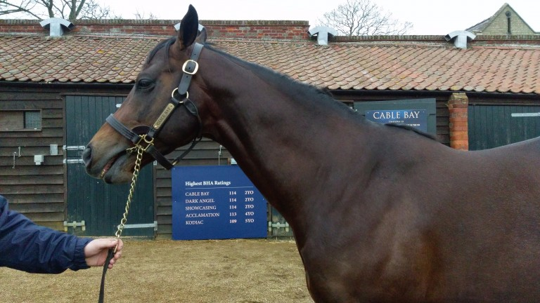 Cable Bay: one of the stallions on show at the Tattersalls TBA Parade