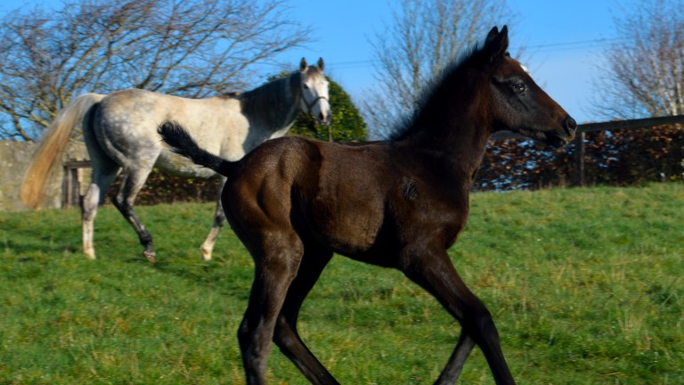 Roundhill Stud's Kingman filly foal out of Serena's Storm, making her a half-sister to Group 1 heroine Rizeena