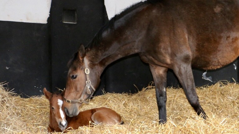 Quevega tends to her newborn colt by Walk In The Park, the sire of Douvan and Min