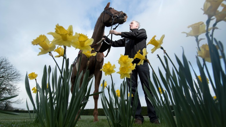 It's spring, there are daffodils, it must be Grand National time: David Pipe and Vieux Lion Rouge relax after work