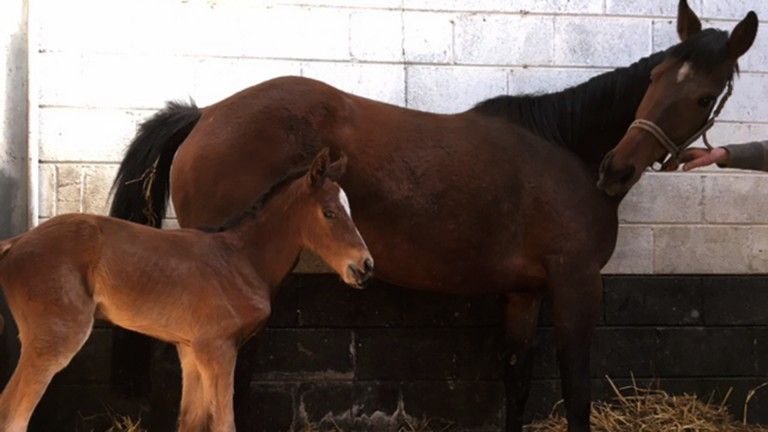 Glencloy, a half-sister to One For Arthur, and her newborn Kayf Tara filly