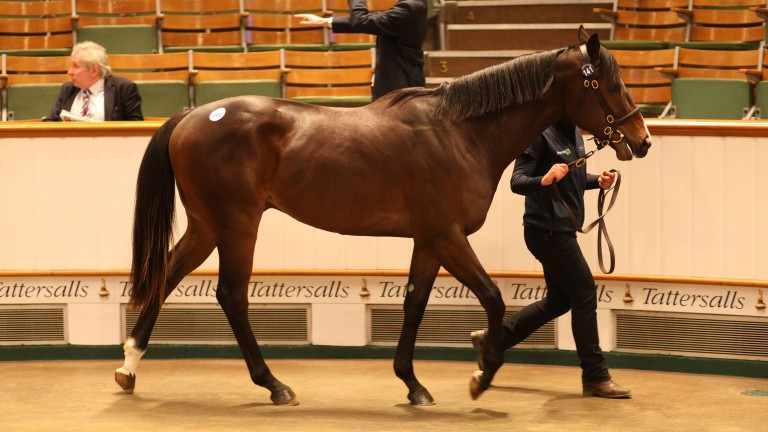 Lot 141: the sale-topping Scat Daddy colt that brought 675,000gns from David Redvers