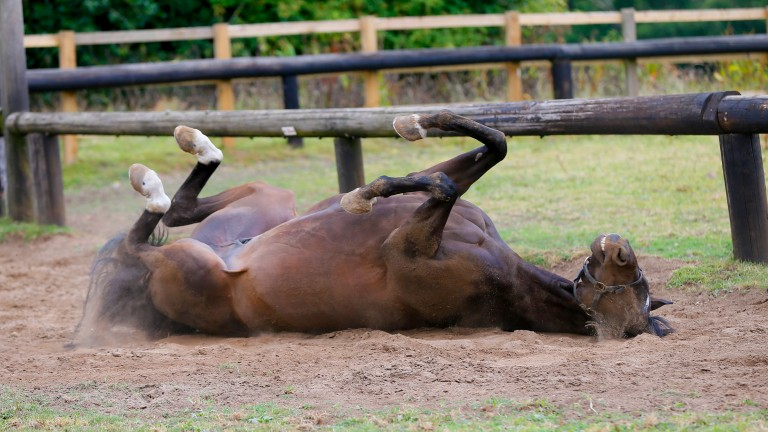 Megalala  rolling in his paddock part of his daily routine John Bridger's Liphook Stables 8/7/2015©cranhamphoto.com