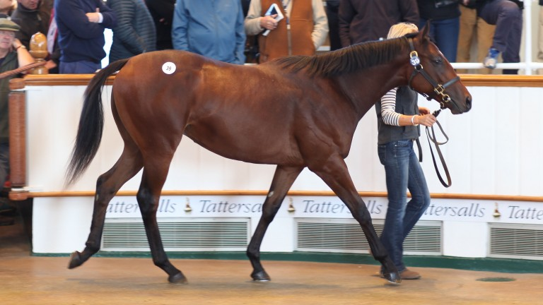 Glorious Journey makes his way around the Tattersalls sales ring as yearling