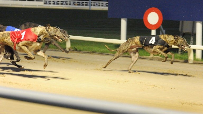 Airport Jumbo (trap 4) leads home Swithins Brae (trap 1) in heat 14