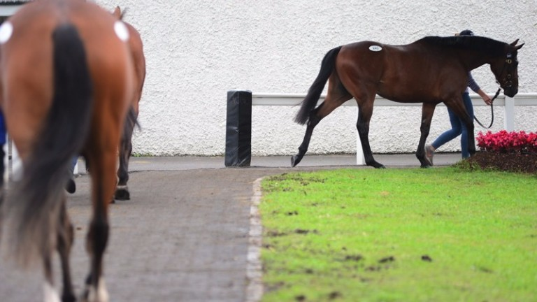 Lots walking outside on the second day of the Tattersalls Ireland Derby Sale on Thursday