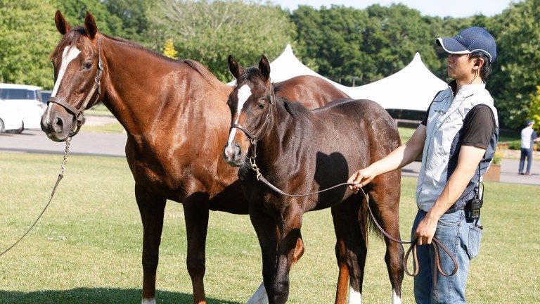 Cheveley Park Stakes heroine Donna Blini with her filly foal by Deep Impact, so a sister to Gentildonna, who will be on offer at the sale