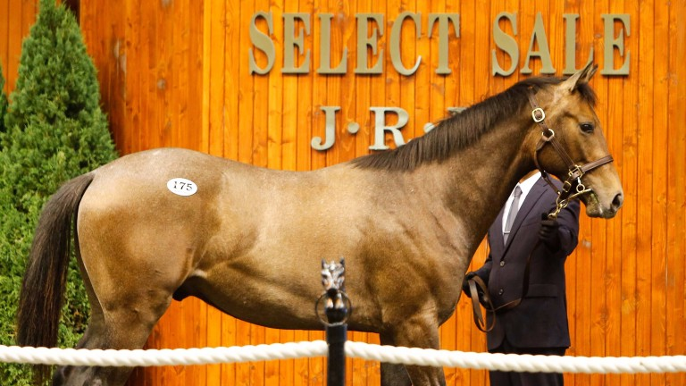 Lot 175: the Deep Impact colt out of Caravaggio's half-sister, My Jen, consigned by Shadai Farm