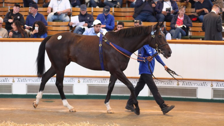 Wild Mint in the famous Newmarket sales ring before selling to Ed Sackville for 290,000gns