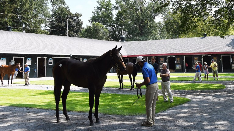 A colt by Into Mischief is inspected on the Saratoga sales ground
