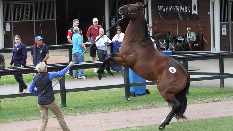 Merovee: the son of Frankel, pictured at the Inglis Australian Yearling Sales, won on his second start