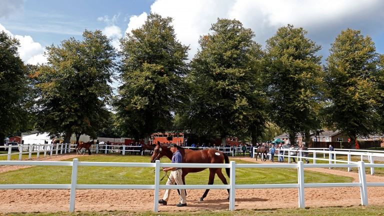 A yearling parades in the sun-kissed Ascot parade ring
