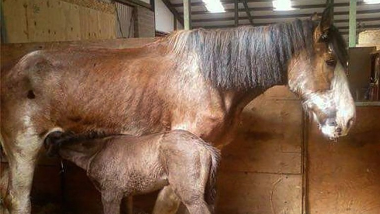 Foster mares like this one are an important part of the breeding industry