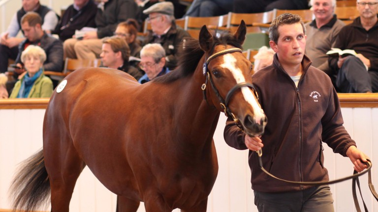 Adam Hill of Rosyground Stud leads round the Exceed And Excel filly who fetched 500,000gns at Book 2 on Tuesday