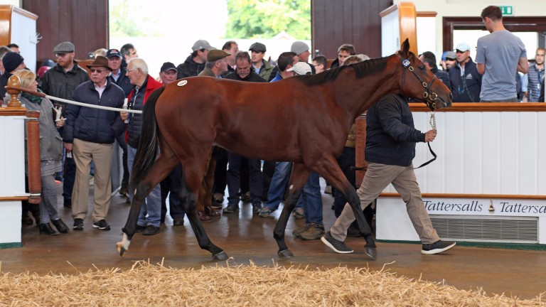 The Sea The Stars colt out of Biz Bar is led through the ring as he is bought for 850,000gns on Wednesday