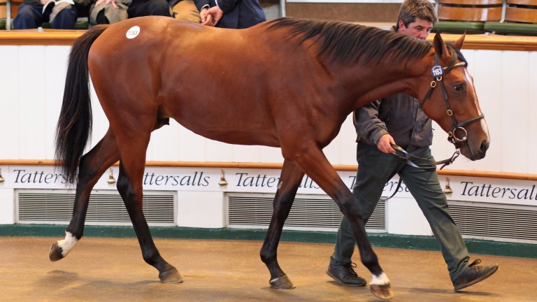 Lot 1183: the Australia colt bought by Blandford Bloodstock for 350,000gns