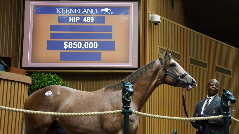 Hip 489: the Violence colt bought by Kerri Radcliffe and Three Chimneys Farm for $850,000 during Keeneland's September Sale