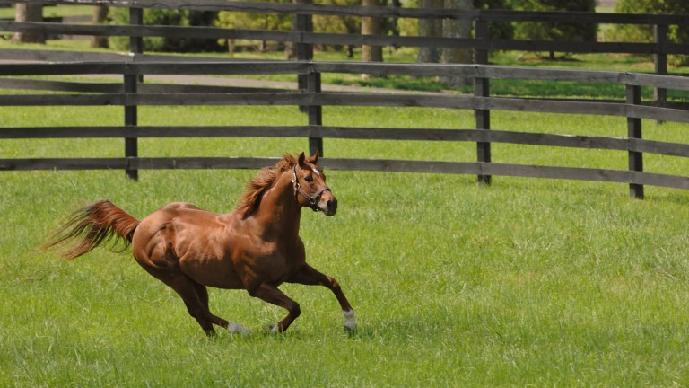 Distorted Humor enjoying himself in his paddock at WinStar Farm in Kentucky