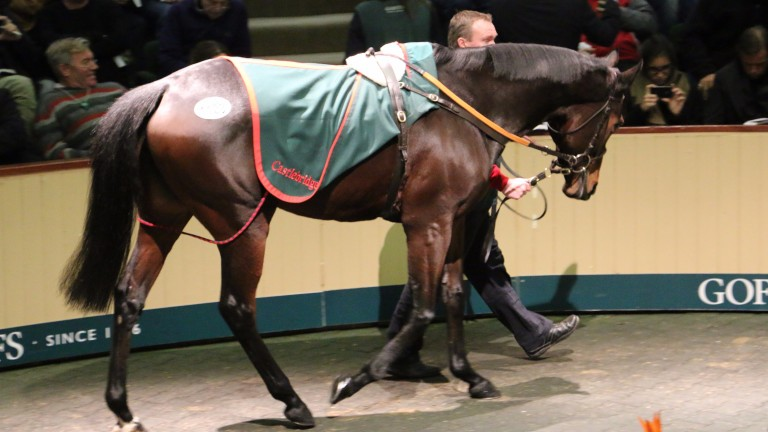 Chicquita on her way to becoming the most expensive horse ever sold at auction in Ireland at €6m