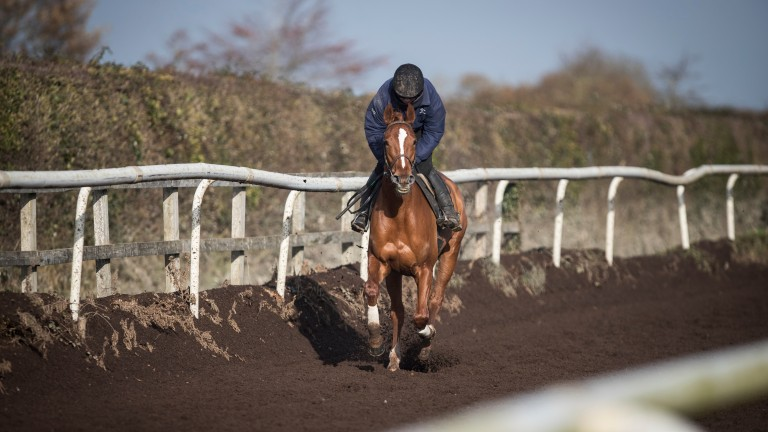 Limini on the gallops at Willie Mullins' yard