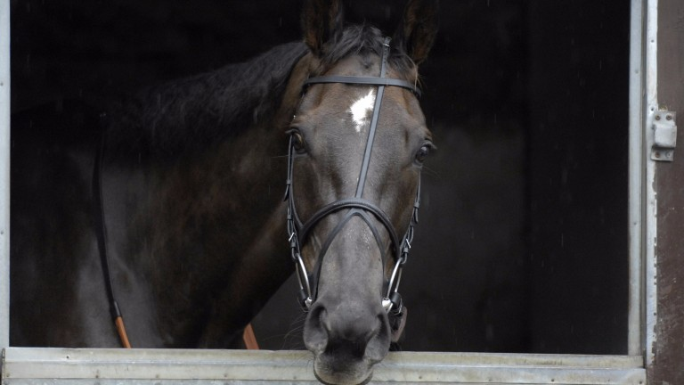 Denman in his box at Ditcheat the day after winning the 2008 Cheltenham Gold Cup