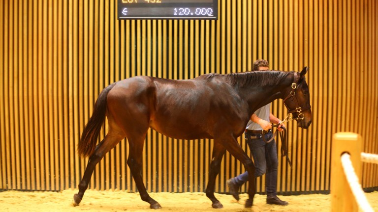 Lot 432: La Grand Gae, a €120,000 son of Great Pretender bought by Highflyer Bloodstock
