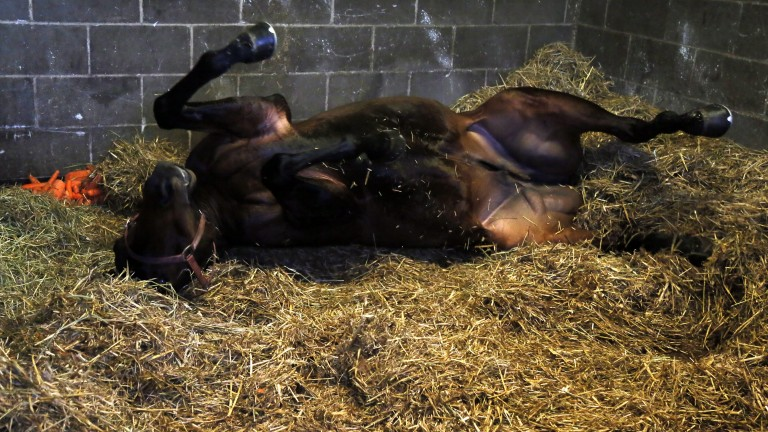 Getting down: Captain Scooby enjoys a roll in his stable