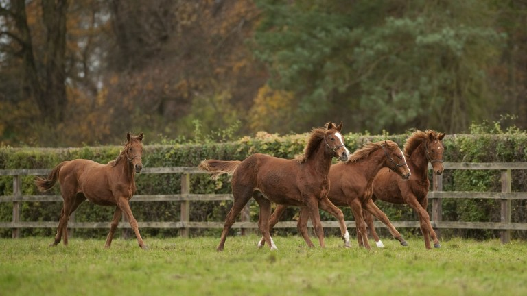 Foals pictured at Cheveley Park Stud in Newmarket