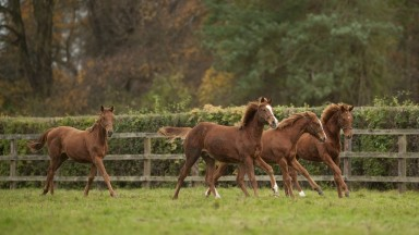 Four chestnut foals at Cheveley Park Stud