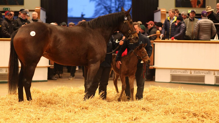 Thetis and her Lope De Vega filly foal in the ring at Tattersalls on Thursday