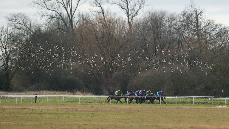 Flying high: a murmuration of starlings scatter as the runners contest the novice handicap hurdle