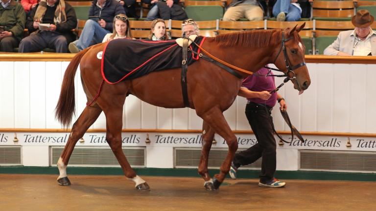 Commander Han in the ring at Tattersalls