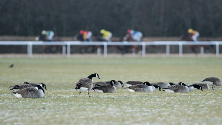 Assessing conditions: a gaggle of Canadian geese seem at home in the arctic conditions in the middle of the course at Wolverhampton