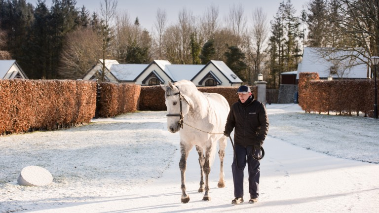 Mastercraftsman, the sire of Amazing Maria, almost blends in with the snow covered scene as he heads out for a walk