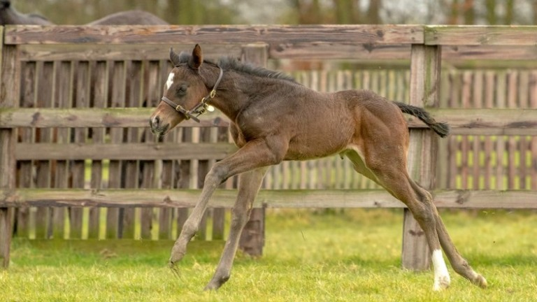 The Ajaya colt out of Woodland Scene stretches his legs at Blue Diamond Stud