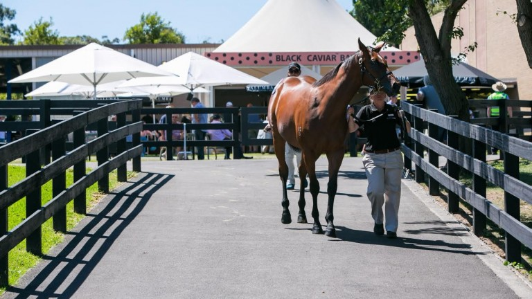 A yearling is led up ahead of the Inglis Melbourne Premier Yearling Sale