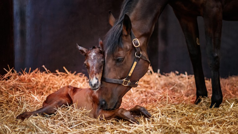 Treve and her newborn Shalaa filly foal cosy up at Haras de Bouquetot