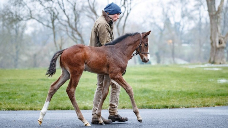 The Shalaa colt out of Gherdaiya is led around Haras de Bouquetot