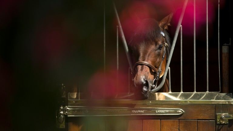 Dubawi in his box at Dalham Hall Stud, where he stands at £250,000
