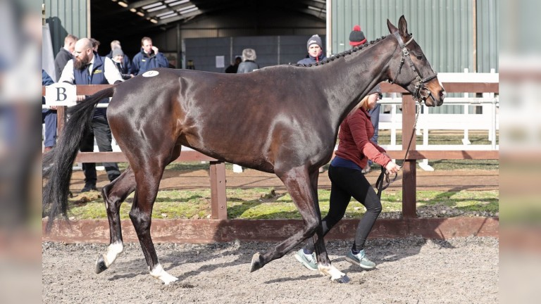 Feel My Pulse, Thursday's joint sale topper, being put through his paces ahead of the Tattersalls Ireland Cheltenham Festival Sale